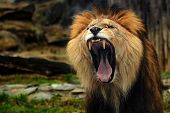 Lion. The Lion With His Open Mouth Wide Open. A Lion To See His Teeth. poster