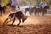 Calf Being Lassoed In A Team Calf Roping Event By Cowboys At A Country Rodeo poster