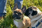 Sunstroke, Health Of Pets In The Summer. Young Pug-dog And French Bulldog. How To Protect Your Dog F poster