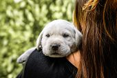 Young Cute White Little Labrador Retriever Dog Puppy Is Carried On The Shoulder Of A Female Person L poster