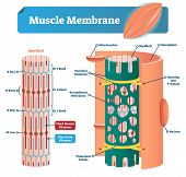Muscle Membrane Vector Illustration. Labeled Scheme With Myofibril, Disc, Zone, Line And Band. Anato poster