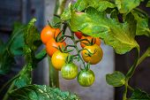 Sun Gold Cherry Tomatoes At Different Stages Of Ripeness On The Vine. This Variety Of Tomato (solanu poster