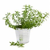 image of hyssop  - Hyssop herb plant in an aluminum pot with leaf sprig isolated over white background - JPG