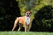 Purebred Boxer Standing in Grass poster
