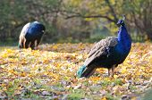 picture of indian peafowl  - Pavo cristatus commonly known as blue peafowl or indian peafowl standing on a autumnal leaves  - JPG