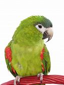 stock photo of polly  - Miniature Noble Macaw on an isolated white background - JPG