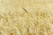 One Bright High Tall Ripe Full-grain Cereal Close-up On A Hot Summer Against A Ripe Rye Field, Wheat poster