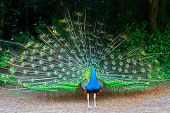 Close Up Of Peacock Showing Its Feathers. Beautiful Peacock. Male Peacock Displaying His Tail Feathe poster