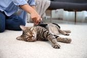 Woman Brushing Her Cat While It Resting On Carpet At Home poster