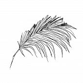 Isolated Sketched Coconut Or Queen Palm Tree Leaves. Beach And Rainforest, Desert Coco Flora. Foliag poster