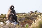foto of fynbos  - Baboon on the rock in the Garden Route of Western Cape - JPG