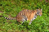 stock photo of feces  - this is bengal tiger feces in the forest - JPG
