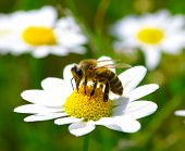 picture of chamomile  - Bee on the chamomile flower - JPG