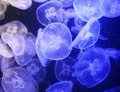 foto of jellyfish  - Jellyfish - JPG