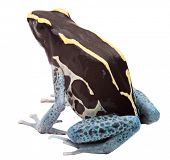 stock photo of exotic frog  - Poison arrow frog isolated on white - JPG