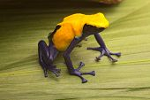 stock photo of poison arrow frog  - Yellow poison dart frog - JPG