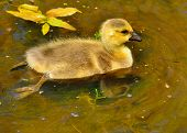 stock photo of baby goose  - A Canada goose gosling sitting in a pond - JPG