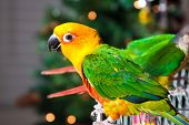 image of parakeet  - Cute Sun Conure Parrot and Green Cheek Parakeet - JPG
