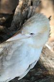 picture of kookaburra  - Rare albino kookaburra in western NSW - JPG