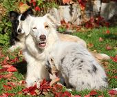 image of bitch  - Border collie bitch with puppy in autumn - JPG