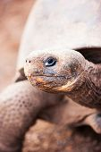 Close up of the Galapagos giant tortoise