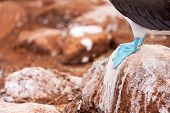stock photo of blue footed booby  - Close up of a blue footed booby feet - JPG