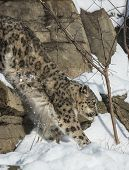 picture of snow-leopard  - Snow leopard jumping down the snowy ledge in the mountains - JPG