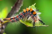 image of caterpillar  - Caterpillar on red currant branch in farmland - JPG