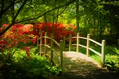 image of azalea  - Beautiful manicured shade garden with a wooden bridge surrounded by blooming red rhododendron and azalea shrubs and trees and ferns - JPG