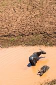 stock photo of wallow  - Buffalo Relax wallowing in a pool of muddy water - JPG