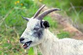 stock photo of billy goat  - Proof billy goats will eat anything - JPG