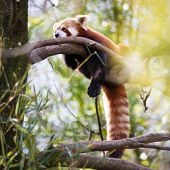 pic of nepali  - Red panda  - JPG