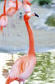 image of pink flamingos  - A profile view of a Caribbean Flamingo standing in the water also known as american flamingo and Phoenicopterus ruber - JPG