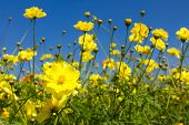 picture of cosmos flowers  - Field of Yellow cosmos flowers in Thailand - JPG
