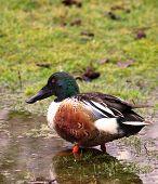 picture of wetland  - Northern Shoveler Duck standing in water wetland  - JPG