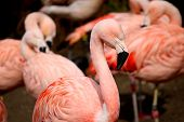 pic of pink flamingos  - Pink Chilean Flamingo standing in front of group - JPG