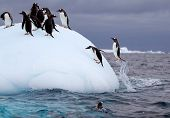 image of south-pole  - Gentoo Penguin Torpedoing out of water onto iceberg in Antarctic waters - JPG