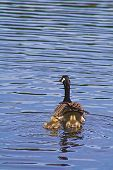 pic of mother goose  - Goslings learning how to swim in the lake for their first time with their mother - JPG