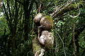 image of epiphyte  - agapetes lobbii growing in rain forest - JPG