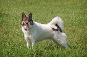 picture of laika  - Portrait of a cute Siberian husky  - JPG