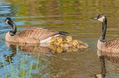 stock photo of baby goose  - Canada Goose swimming with young goslings in a swamp - JPG