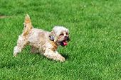 stock photo of bichon frise dog  - Cute bichon dog running on the grass - JPG