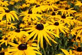 pic of black-eyed susans  - Wonderful Black-eyed susans blossoms or Rudbeckia fulgida