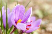 picture of lilas  - Close up of saffron flowers in a field - JPG