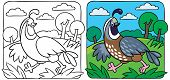 pic of quail  - Coloring picture of little funny quail running on the field - JPG