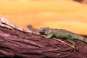 picture of terrarium  - Chinese water dragon on branch tree at terrarium - JPG