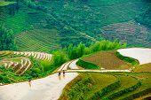 image of rice  - Yaoshan Mountain - JPG