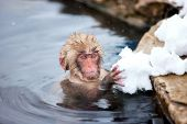 picture of baby-monkey  - Baby snow monkey Japanese Macaque playing with snow at onsen hot springs of Nagano - JPG