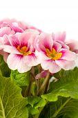 pic of primrose  - pink spring primroses on a white background - JPG