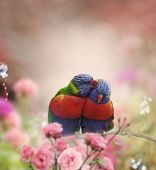 image of lorikeets  - Rainbow Lorikeets Perched In The Garden - JPG